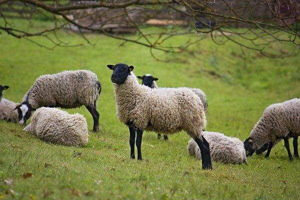 Romanov koyunu özellikleri